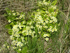 Wild Primroses, Dunnet, Caithness, May 2018 (allanmaciver) Tags: primroses wild flower delicate yellow reeds rushes dunnet north coast scotland caithness allanmaciver