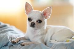 Gerda (Vigurskiy) Tags: chihuahua dog beautiful 14 85mm sony a7rm2 pet toy animal