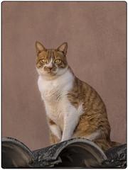 GATO (BLAMANTI) Tags: gatos felinos hermoso hermosa mascotas canon canonpowershotsx60 blamanti