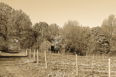 ile 2018-90 (Tasmanian58) Tags: vintage sepia winery quebec canada orleansisland loxia loxia235 zeiss sony a7ii landscape