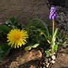 Find at the cemetery wall (rotraud_71) Tags: spring findatthewall flowers löwenzahn grapehyacinth traubenhyazinthe shadows sun dandelion