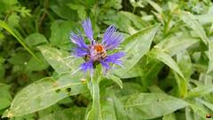 """Berg-Flockenblume (Cyanus montanus (L.) Hill, Syn.: Centaurea montana L.) (warata) Tags: 2018 deutschland germany süddeutschland southerngermany schwaben swabia oberschwaben upperswabia schwäbischesoberland badenwürttemberg badenwuerttemberg frühling spring ressort """"samsung galaxy note 4"""" """"bergflockenblume"""" """"cyanus montanus"""""""