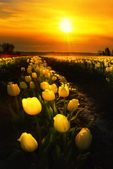 Sunset at Tulip Field. (Sveta Imnadze) Tags: nature landscape skagitvalley tulipfestival tulips