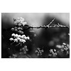 Spring Barbed Wire (Silas Slack) Tags: blackandwhite bw spring barbed wire leica 90mm elmaritm m10 nature norfolk