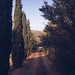 Cypresses (Olly Denton) Tags: path trees light goldenhour evening beauty countryside hill view italian driveway summer iphone iphone6 6 vsco vscocam vscoumbria vscoitaly vscoitalia ios apple mac shotoniphone coldipozzo promano cittadicastello umbria italy italia