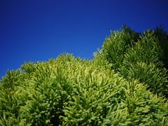 Sugi (Cryptomeria) in the sun (Bushman.K) Tags: tree branch sky conifer