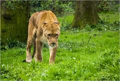 Predator(UK) (williamwalton001) Tags: pentaxart park trees animals grasses longleat lion beautiesbeasts