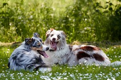 IMG_2807 (mpreitz) Tags: australianshepherd dogs nature