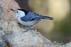 White-breasted Nuthatch (Sita carolinenis); Santa Fe National Forest, NM, Thompson Ridge [Lou Feltz] (deserttoad) Tags: wildlife nature newmexico mountain desert bird nationalforestwild songbird nuthatch