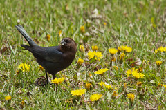 Brown-headed Cowbird (male) on a Lawn 2 (LongInt57) Tags: brownheaded cowbird blackbird grass lawn dandelions weeds feeding eating seeds black blue brown green yellow nature wildlife stlouis fairviewheights illinois usa grey gray