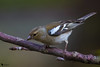 Chaffinch (Fringilla coelebs)female (zotyesz1) Tags: nature bird birdphoto outdoor passeriformes finch chaffinch peched spring female hungary