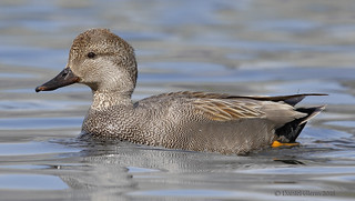 Gadwall drake (breeding male)