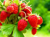 (Alin B.) Tags: alinbrotea nature natural fruits wild red berry fragi fragola strawberries