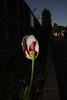 Botanical garden 5 (mona_dee) Tags: botanicalgarden kiel people tulip flower