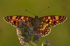 Melitaea phoebe (2) (JoseDelgar) Tags: insecto mariposa melitaeaphoebe 425853368732777 josedelgar naturethroughthelens thegalaxy alittlebeauty ngc coth npc coth5