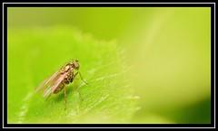 """A New Leaf..."" (NikonShutterBug1) Tags: nikond7100 tokina100mm fly insect entomology nature wildlife bokeh spe smartphotoeditor closeup macro flydayfriday"