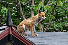 Urban Fox on garden shed roof (billywhiz07) Tags: fox wildlife urban nature friend