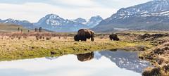 Bull bison graze along an ephemeral pool in Lamar Valley panorama (YellowstoneNPS) Tags: abiatharpeak ampitheatermountain lamarvalley ynp yellowstone yellowstonenationalpark bison spring