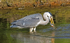 St Helens ( UK ) Grey Heron catching dinner .  This fish was a female and the red colour you can see is not blood but hundreds of fish eggs . (stejones18) Tags: