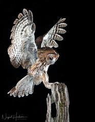 Tawny Owl (Nigel Hodson) Tags: canon 300mmf28ii 1dxmkii owl tawny tawnyowl birdofprey wildlife wildlifephotography birds birdphotography bird nature naturephotography ianhowells