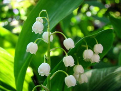 White (R_Ivanova) Tags: nature macro flower flowers spring garden white green bokeh outdoor plant sony rivanova риванова природа цветя пролет градина моминасълза растения макро