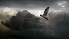 The coming storm (Dragan*) Tags: seagull bird animal flying wings sky cloud storm nature outdoor
