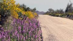 California 2017 Superbloom (blmcalifornia) Tags: desert mojavedesert california publiclands discoverthedesert history nature