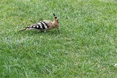 Huppe fasciée - Upupa epops - Eurasian Hoopoe (ChantCarr) Tags: wwwchantcarrcom wwwchantcarrwordpresscom wildlife libreetsauvage naturewatcher nikond750 nikon200500