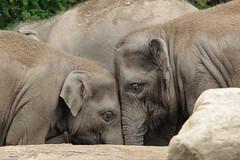 It's all in the eyes... (K.Verhulst) Tags: elephant elephants asiaticelephants olifanten aziatischeolifanten blijdorp diergaardeblijdorp rotterdam