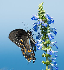 In blues (v4vodka) Tags: insect butterfly motyl motylek lepidoptera swallowtail papiliopolyxenes blackswallowtail esternblackswallowtail parsnipswallowtail americanblackswallowtail papillionidae paz longisland newyork