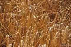 Пшениця, жито, овес InterNetri  Ukraine 047