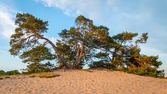 Kootwijkerzand (Arjan Almekinders) Tags: boom tree sand zand kootwijkerzand veluwe sahara desert
