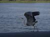 PGH50054 (klangcharakter) Tags: graureiher holland niederlande amsterdam urlaub natur nature stadt reiher panasonic gh5 lumix leica 1260mm f2840 iso100 1500sek