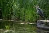 Naturgesetz-bw_20180527_5317.jpg (Barbara Walzer) Tags: 270518 botanischergarten graureiher natur reiher