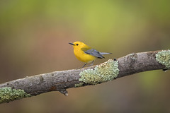 Swamp Color... (DTT67) Tags: prothonotarywarbler warbler birds swamp songbird nature nationalgeographic wildlife canon maryland 1dxmkii 500mmii spring