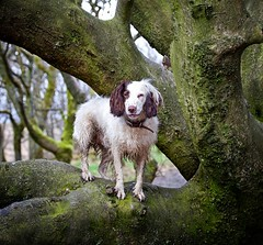 A Bear In The Tree (Missy Jussy) Tags: rupert rupertbear mansbestfriend englishspringer springerspaniel spaniel dog dogwalk dogportrait pet animal animalportrait malespringerspaniel trees bokeh sunlight light moss woodland wood forest portrait outdoor outside countryside 70200mm ef70200mmf4lusm ef70200mm canon70200mm 5d canon5dmarkll canon5d canoneos5dmarkii canon