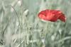 Gracefull Poppy (Marilely) Tags: poppy green wind field red mohnblume feld grün rot silk seide soie vert champs pavot rouge gracefull gracile bokeh