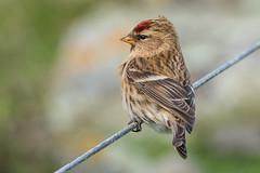Lesser Redpoll (NZL365) Tags: lesserredpoll birding bird birdphotography nature newzealandbirds photowalk canon7dii 365project 365photochallenge 365days project365