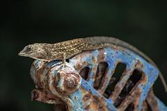 Lounging Lizard (ACEZandEIGHTZ) Tags: lizard garden pump handle nikon d3200 macro closeup carinatus carinate curlytailed leiocephalus coth5 coth