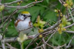 DSC_1776 (Biodiverse Photography) Tags: chestnutsidedwarbler