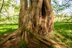 Tree (Lucien Schilling) Tags: grass spring landscape old big mainau bark descriptive leaf ancient wood green plant trees summer park root tree trunk forest outdoor leaves outdoors environment konstanz woods nature branch badenwürttemberg germany de