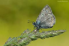 Melitea (Simone Mazzoccoli) Tags: nature wild wildlife butterfly macro outdoor spring light simone mazzoccoli