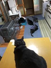 Yuba Oversees his Empire (sjrankin) Tags: 29may2018 edited animal cat bonkers argent tigger yuba table kitchen snack catfood floor yubari hokkaido japan