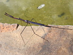 Nepidae: Ranatra sp. - Water Scorpion (Water Stick-insect) (William Tanneberger) Tags: nepidae ranatra waterscorpion hemiptera wdtmay bug aquatic invertebrate aquaticinsects
