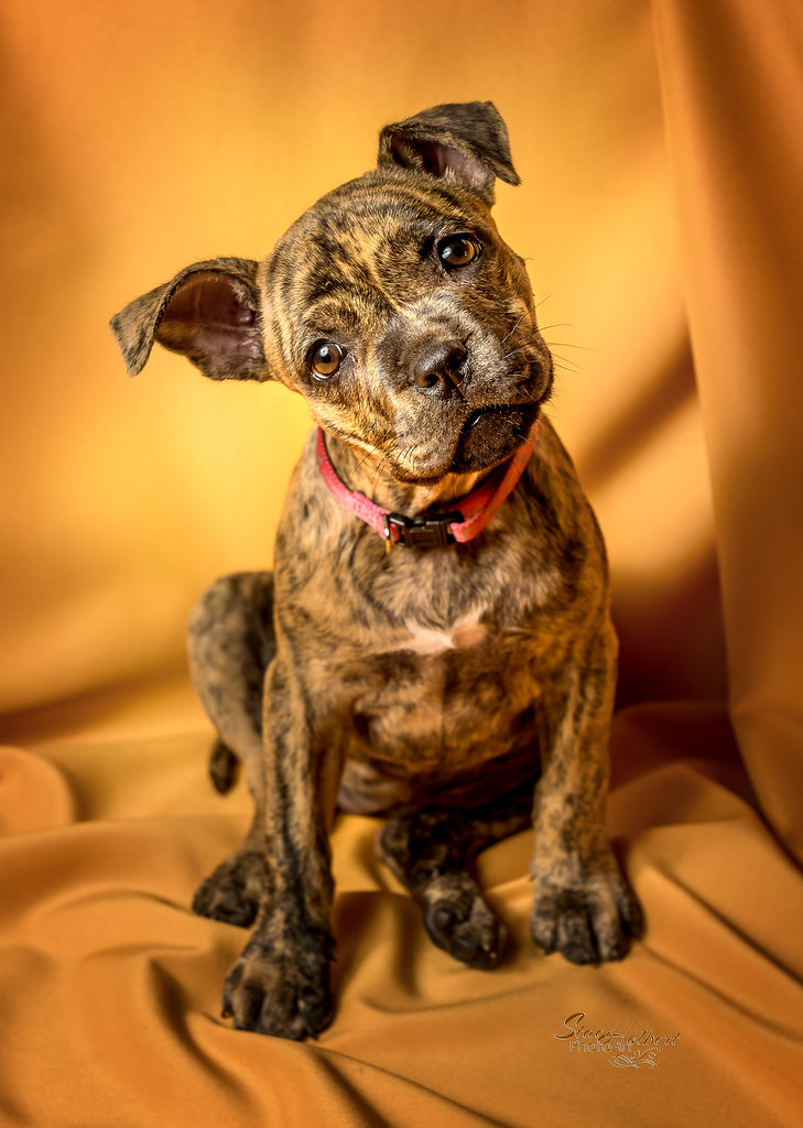 The World's Best Photos of brindle and pitbull - Flickr Hive Mind