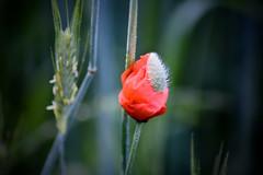 Klatschmohn (PinoyFri) Tags: klatschmohn poppy câyanhtúc papoula papaver 罌粟 valmue παπαρούνα 양귀비 haşhaş macro makro nahaufnahme blume bulaklak flower red