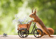 red squirrels with forget me not and a bike (Geert Weggen) Tags: animal animalbodypart animaleye animalskin backlit balance bright closeup cute dandelion dinner dreamlike eye flower food hiding horizontal humor hypnosis looking mammal moss nature peeking photography red rodent squirrel staring sun sweden uncultivated watching wonder fun cycle bike vehicle travel love forgetmenot bispgården jämtland geert weggen ragunda