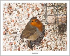 Robin Feeding (flatfoot471) Tags: 2018 bearsden bird eastdunbartonshire february nature normal robin scotland unitedkingdom winter gbr