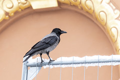 Cuervo común (José M. Arboleda) Tags: ave cuervo común passeriforme corvidae ciudad nieve agua frio ártico tromsø noruega canon eos 5d markiv ef24105mmf4lisusm josémarboledac