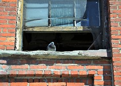Nosy Neighbor (KaDeWeGirl) Tags: newyorkcity bronx olinville bronxparkeast storage brick window pigeon weathered neglected fenster